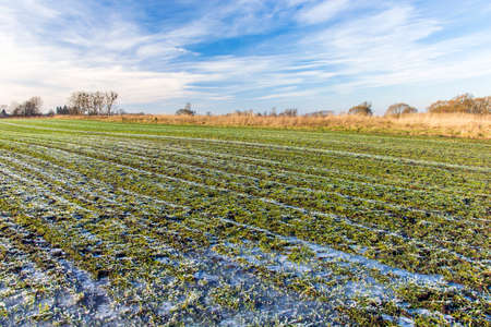 Frozen water and frost on a green field with winter grain, clouds on the sky, january view