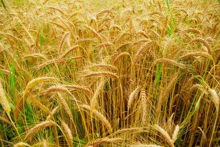 cultivable: Ears of grain Stock Photo