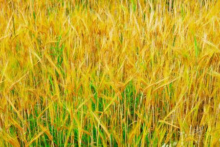 cultivable: Ears of grain.