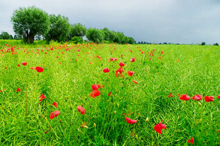 protection of arable land: Red poppies on a field. Pomerania, northern Poland. Stock Photo