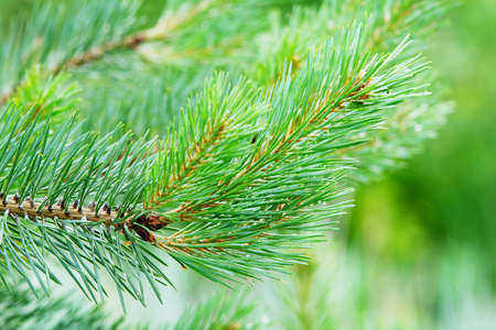 pinaceae: Branch of the European black pine. Stock Photo