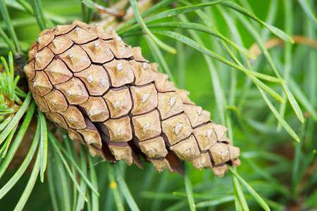 Cone of the European black pine. photo