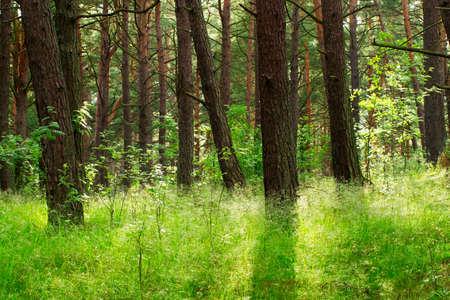 Pine forest. Pomerania, northern Poland. photo
