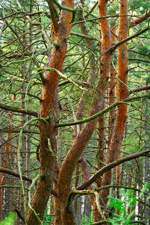 tangled: Tangled pine tree trunks.