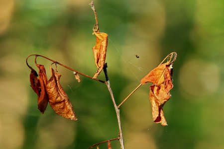 sear and yellow leaf: Close-up of a top part of withered young tree with a spider on the spider-web.