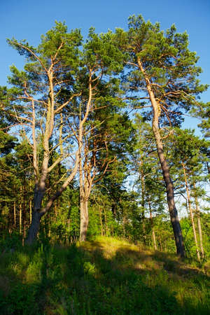 temperate: Group of tall pine trees growing on a forest glade in a sunny summer day. Stock Photo