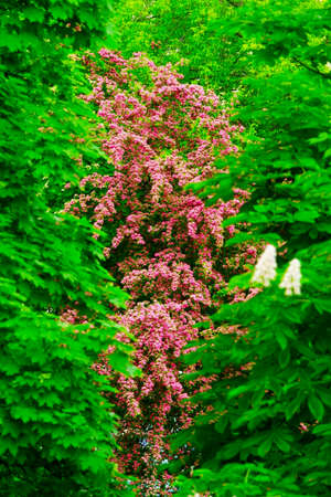 leafed: Springtime in the garden. Blooming pink tree.