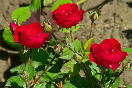 ornamental garden: Red ornamental garden roses. Stock Photo