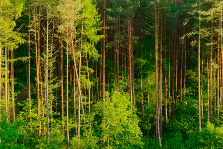 pinewood: Pinewood growing in Pomerania, northern Poland.