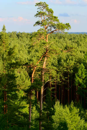 pinewood: Aerial view of pinewood growing in Pomerania, northern Poland.
