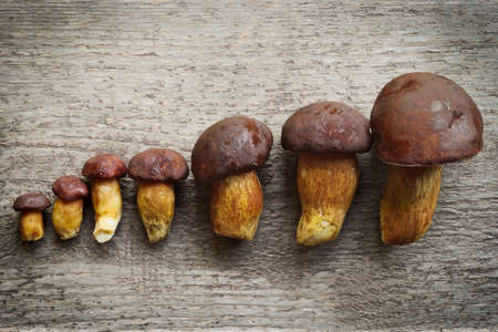 bolete: Top view of pine bolete (Boletus pinophilus) mushrooms collection arranged in row from small to big. Still life photo.