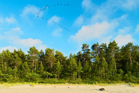 Landscape with pine tree forest growing on the dunes at Baltic sea shore and blue sky with cormorants flying in a V formation. Pomerania, northern Poland. Stock Photo