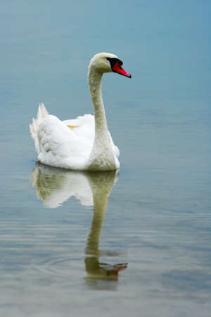 A white mute swan swimming in lake Drestwo. Podlasie province, north-eastern Poland.