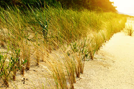 stabilization: Sand dune stabilization. European marram grass (Ammophila arenaria), also known as European Beachgrass growing on the dunes at Baltic sea shore. Selective focus. Pomerania, Poland. Stock Photo