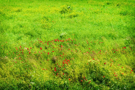 Green spring meadow with blooming red poppies in sunlight. Pomerania, Poland.