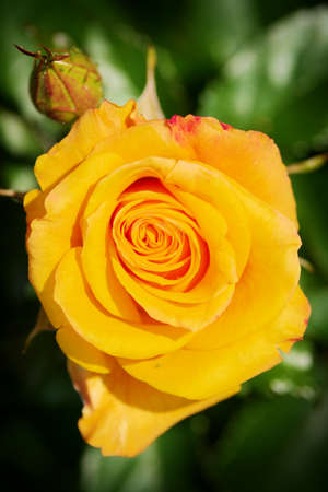 horticultural: Rose flower bud top view in springtime. Yellow rosebud blossoming in spring garden in sunlight. Selective focus.
