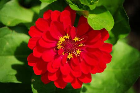 春の百日草の花平面図です。赤ヒャクニチソウの花春の日光の庭。選択と集中。