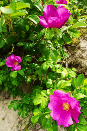 desert ecosystem: Pink blooming flowers of climbing Rosa canina shrub, commonly known as wild rose or growing on dunes at the seaside. Selective focus. Baltic sea shore, Pomerania, Poland.