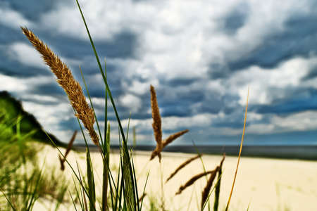 Grass plant Calammophila baltica growing on a sandy beach at the Baltic sea shore. Dramatic stormy tempestuous sky on background. Selective focus. Pomerania, northern Poland.