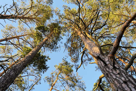 pinaceae: Crowns of Scots or Scotch Pine Pinus sylvestris trees growing in evergreen coniferous wood. Forest canopy view from below. Pomerania, Baltic coast, Poland. Stock Photo