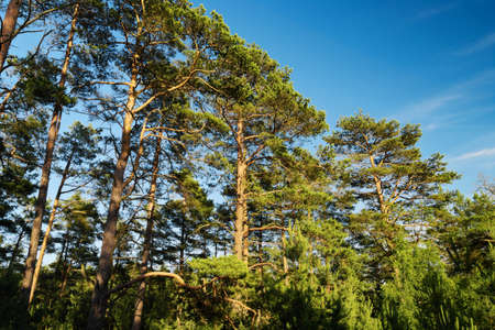 pinaceae: Scots or Scotch pine Pinus sylvestris trees growing in evergreen coniferous forest. Pomerania, Baltic coast, Poland.