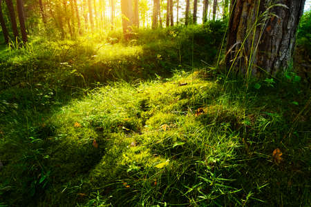 Summer forest undergrowth vegetation. Grass, shrubs and moss growing in a pinewood understory or underbrush backlit by the sun. Selective focus. Pomerania, northern Poland.