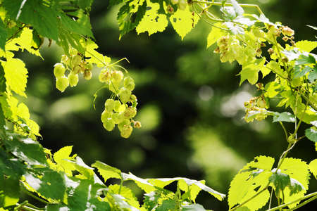 Hops growing on Humulus lupulus plant. Common hop flowers or seed cones and green foliage backlit by the sun. Selective focus. Stock Photo