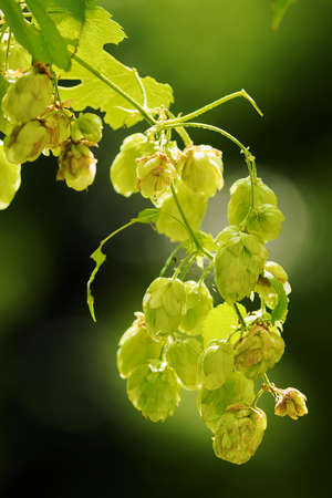 common hop: Hops growing on Humulus lupulus plant. Common hop flowers or seed cones and green foliage backlit by the sun. Selective focus. Stock Photo