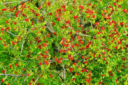 Sorbus aucuparia, rowan or mountain-ash tree canopy with red ripe fruits. Rowan tree crown aerial top view. Natural pattern or background.