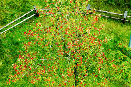 Sorbus aucuparia, rowan or mountain-ash tree canopy with red ripe fruits. Rowan tree crown aerial top view.