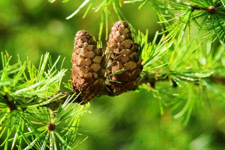 Larch cones. European larch Larix decidua Mill branches with cones and foliage on larch tree. Selective focus.