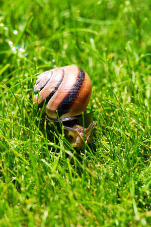 The grove snail or brown-lipped snail, Cepaea nemoralis, sliding through fresh green grass. Closeup of land snail with spiral shell on meadow. Stock Photo