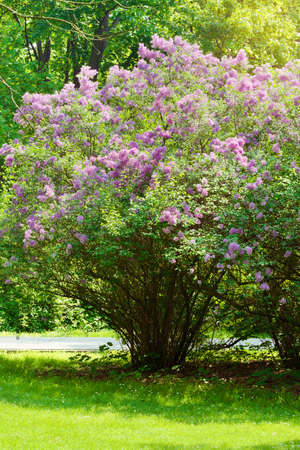 Lila o lila común, Syringa vulgaris en flor. Flores púrpuras que crecen en arbustos en flor lila en el parque. Primavera en el jardín. Polonia. Foto de archivo