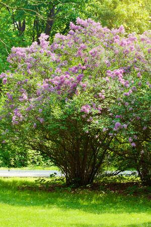 Lilla o lilla comune, Syringa vulgaris in fiore. Fiori viola che crescono su arbusto fiorito lilla nel parco. Primavera in giardino. Polonia. Archivio Fotografico