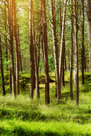 Summer pinewood. Scots or Scotch pine Pinus sylvestris trees in evergreen coniferous forest. Stegna, Pomerania, northern Poland.