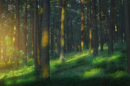 Dark and moody, magical, fairy tale pine forest. Mysterious pinewood at dusk. Pomerania, Poland. Stock Photo