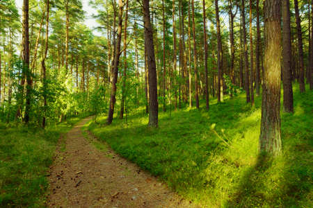 Dirt road or path through evergreen coniferous pine forest. Pinewood with Scots or Scotch pine Pinus sylvestris trees growing in Pomerania, Poland. Reklamní fotografie