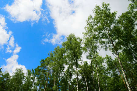 Birch Betula tree crowns against sky. Group of tall birch trees growing in deciduous forest. Pomerania, Poland. Reklamní fotografie