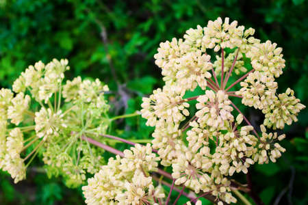Globular umbels of angelica archangelica, garden angelica or wild celery white flowers close up. Pomerania, Poland.