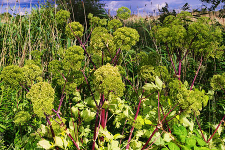 Angelica archangelica, garden angelica or wild celery plant growing in the meadow. Pomerania, Poland.