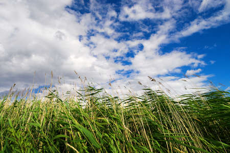 Common reed Phragmites australis on the sky background. View from the bottom up. Pomerania, Poland.