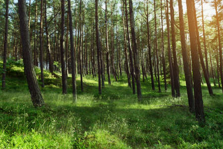 Morning in a pine forest. Evergreen pinewood with Scots or Scotch pine Pinus sylvestris trees in Pomerania, Poland.