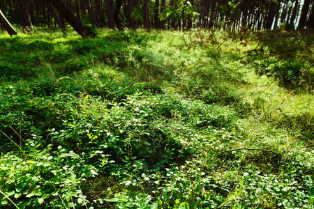 Forest understory. Green foliage of wild bilberry. Vaccinium myrtillus plants growing in the forest. Pomerania, Poland.