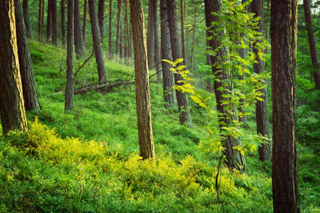 Summer pinewood. Scots or Scotch pine Pinus sylvestris trees in evergreen coniferous forest. Pomerania, Poland.