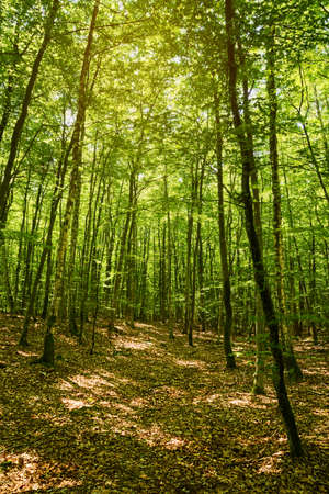 Beech forest in Pomerania, Poland. Fagion sylvaticae trees in deciduous woodland.