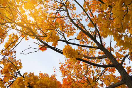 Maple tree branches and foliage in the autumn against blue sky.