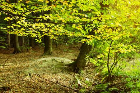 Beech tree branch and foliage in the autumn. Swietokrzyskie Mountains, Poland. Stock Photo