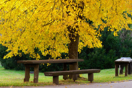 Wooden bench under beech tree in autumn colors. European beech Fagus sylvatica in the park.