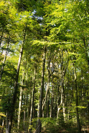 Beech forest in Swietokrzyskie Mountains, Poland. Fagus sylvatica trees in deciduous woodland.