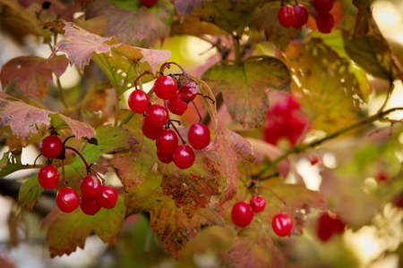 Guelder rose red ripe fruits and leaves in autumn colors. Viburnum opulus plant in the garden.
